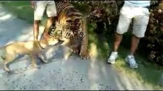 Dog Vs Tiger