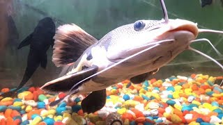 Extremely Aggressive/Predatory Freshwater Fish For Aquarium In Delhi