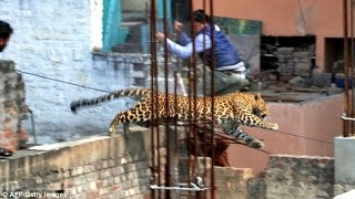 FULL VIDEO: Leopard enters The House And Sturk In The Bathroom