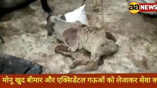 #Dilli Monu खुद बीमार और एक्सिडेंटल गऊओं को लेजाकर सेवा करता है | घुमनहेड़ा गऊशाला की भर्त्सना की