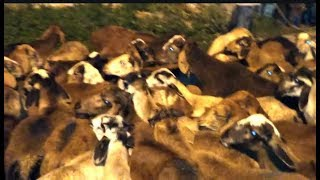 Bakra Comes For Bakrid ( Eid Ul Zoha ) In Market Of Hyderabad | @ SACH NEWS |