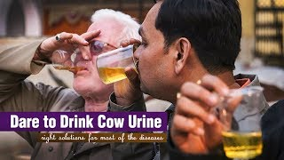 Amazing benefits of Cow Urine | Useful Video Must Watch