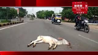 [ Jhansi ] झांसी में एक अज्ञात बाहन ने बछिया को टक्कर मारी, कई घंटों तक तड़पती रही बछिया