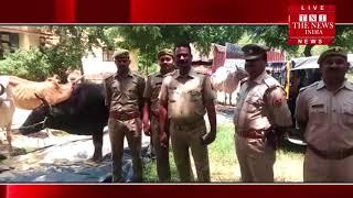 [ Sultanpur ] सुल्तानपुर में वहन चेकिंग दौरान पकड़ी गई गोवंश से लदी DCM / THE NEWS INDIA