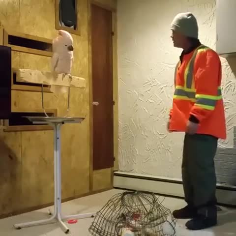 Parrot abuses owner for destroying cage Funny !