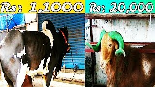 Bakrid In Hyderabad | Highest Price Pf Animals In Hyderabad | Sach News Special |