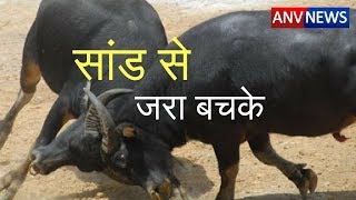 ANV NEWS     2 बैलों की लड़ाई बनी राहगीरों की जान का खतरा...?