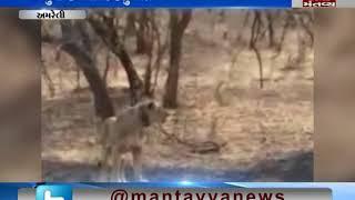 lion died in Amreli
