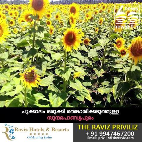 Sunflower garden in Thenkasipattanam
