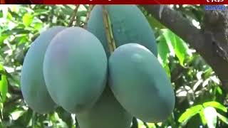 Gir Somnath : 35 Or More Type Of Mango Are There Farmer New Experiment On That