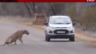 Una : Lion family dorm in farms