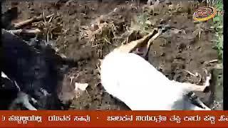 chitapur dondagaon malerayana arbhata sidilin hodetakke 20kuriglu saavu SSV TV NEWS 26/09/18