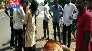 ધારી-સિંહો દ્વારા બે ગાયો પર કરાયો હુમલો