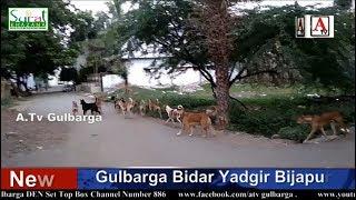 Awara Kutou Ki Gaayang Se Gulbarga Ki Awam Pareshan  Dekhiye A.Tv Ki Khas Report 14-10-2018