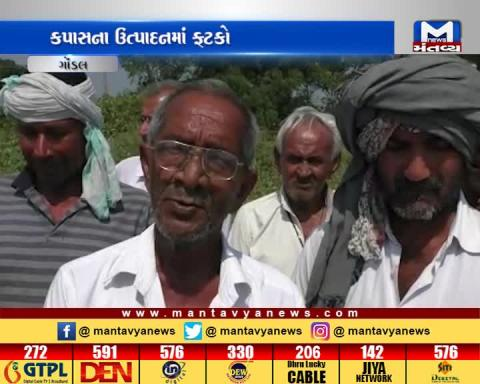 Gondal: Less income of Cotton in Market Yard | Mantavya News