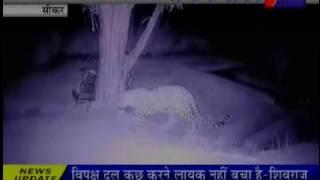 सीकर जिले के अजीतगढ़ कस्बे मे तेंदुआ का खौफ |Ajeetgarh town of Sikar district in awe of leopard