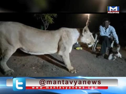 Gir Somnath: Viral Video of a man troubling the Lion | Mantavya News
