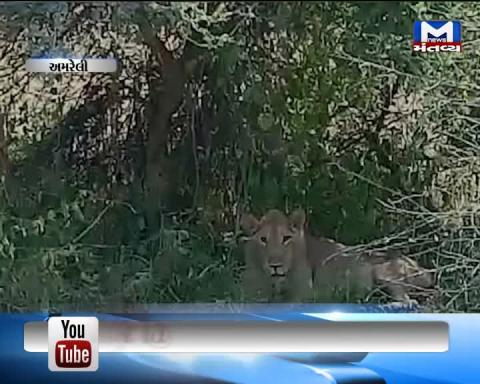 Amreli: Forest Department to rescue a lion suffering from illness | Mantavya News