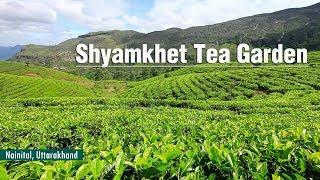 Shyamkhet Tea Garden/Ghorakhal Tea Factory (Bhowali) | Nainital, Uttarakhand