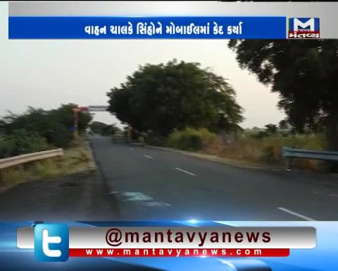 Amreli: Viral video of lions crossing the road in Savarkundla | Mantavya News