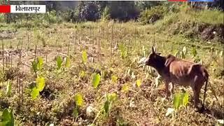 आवारा पशुओं ने किया नाक में दम || ANV NEWS
