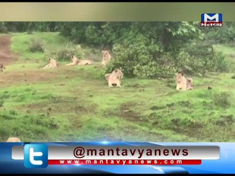 Viral Video of Lions spotted in Amreli | Mantavya News