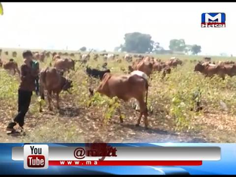 Amreli: Due to loss of crops farmers have open their farm for Cattle | Mantavya News