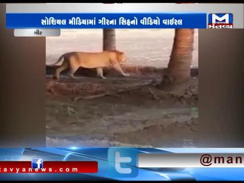 Gir: Viral Video of Lion walking in Coconut Garden   Mantavya News