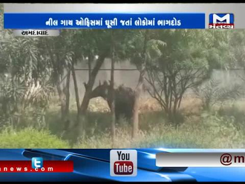 Ahmedabad: Forest Department has caught a Nilgai entered in Registry & Trademark Office