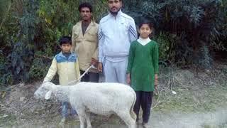 पंचायत से बीडीसी सदस्य राकेश कुमार द्वारा कांगड़ा से आये भेड़पालक की जंगल मे खोई भेड़ को लौटाने
