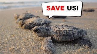 SAVE OLIVE RIDLEY NESTING SITES In MORJIM: Olive Ridley Turtles Caught In The Political Crossfire.