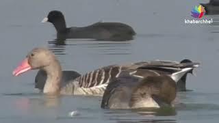 થોળ તળાવમાં વિદેશી પક્ષીઓનું આગમન, આ પક્ષીઓએ જમાવ્યું ખાસ આકર્ષણ
