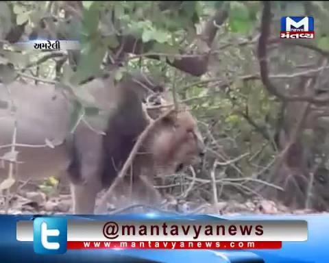 Amreli: Viral Video of Lion drinking water