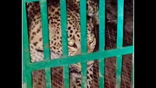 Forest Department Caught The Leopard Burhanpur Mp | बुरहानपुर में  पकड़ाया तेंदुआ
