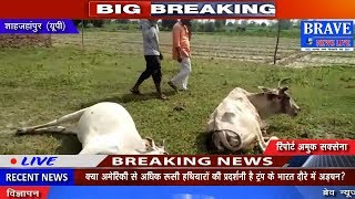 Shahjahanpur : लगातार मर रहे गौवंशीय पशु, अब तक 6 की हो चुकी मौत - BRAVE NEWS LIVE
