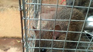 Jungle Rat in Cage.