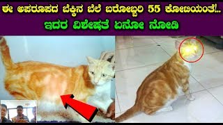 Kannada News - ಈ ಅಪರೂಪದ ಬೆಕ್ಕಿನ ಬೆಲೆ ಬರೋಬ್ಬರಿ 55 ಕೋಟಿಯಂತೆ ! ಇದಾ ವಿಶೇಷತೆ ನೋಡಿ | 55 Crore Cat