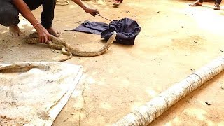 Spectacled Cobra (Naja Naja) Rescued from Cuttack, Odisha, India | Satya Bhanja