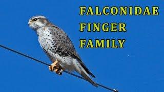 Falconidae Finger Family | Animal Finger Family