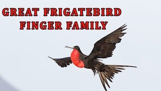 Great Frigatebird | Animal Finger Family