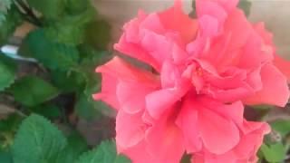 Amazing Hibiscus (Mandar) Flower.