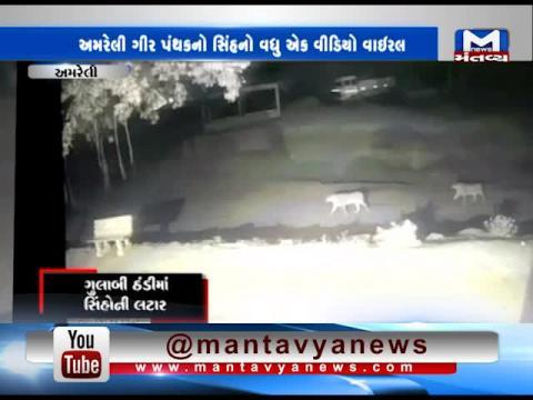 Lion's one video viral in Amreli's Gir Panthak