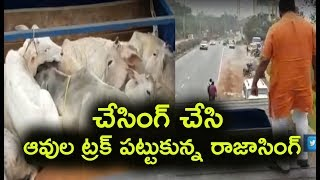 BJP MLA Raja Singh Chased & Caught Illegal Cow Transportation Hyderabad | Raja Singh Cow Truck