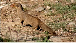 Mongoose.