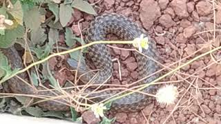 Snake without Poison.
