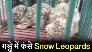 गड्ढे में फंसे Snow Leopards, कड़ी मुशक़्क़त के बाद Wildlife Department ने निकाला बाहर