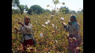 Andhra Pradesh Govt re-instates cotton licence for Kaveri Seeds