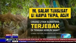 Fakta Data: Orangutan dan Ironi Kelapa Sawit