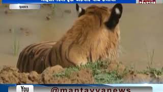 Mahisagar: A local claimed to have spotted 3 Tigers   Mantavya News