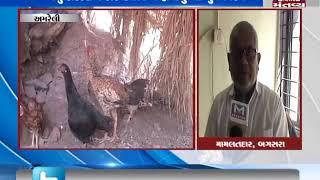 Amreli: Cocks are dying due to Flu | Mantavya News